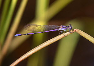 Violet dancer damselfly (Argia fumipennis violacea) Wading River, Wharton State Forest, New Jersey, USA, July.  -  Doug Wechsler