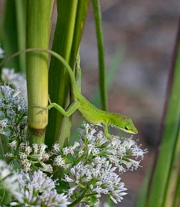 Green anole (Anolis carolinensis) Croatan National Forest, North Carolina, USA, October.  -  Doug Wechsler