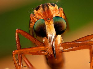 Hanging thief robber fly (Diogmites sp) close up of head and eyes, Philadelphia, Pennsylvania, USA, July.  -  Doug Wechsler