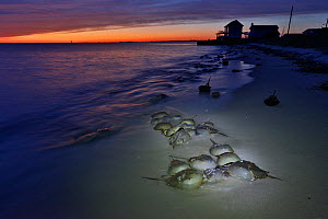 Horseshoe crab (Limulus polyphemus) at sunset; Delaware Bay, New Jersey, USA, June.  -  Doug Wechsler