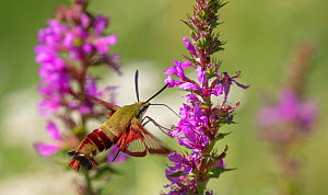 Hummingbird clearwing moth (Hemaris thysbe) nectaring at Purple loosestrife, French Creek State Park, Pennsylvania, USA, August.  -  Doug Wechsler
