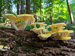Golden oyster mushroom (Pleurotus citrinopileatus) Philadelphia, Pennsylvania, USA, August.  -  Doug Wechsler