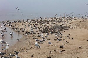 Mixed shorebird flock resting during migration, Delaware Bay, New Jersey, May.  -  Doug Wechsler