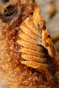 Chinese praying mantis (Tenodera sinenesis) close up of ootheca (egg case) Philadelphia, Pennsylvania, USA, APril.  -  Doug Wechsler