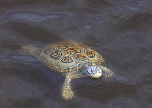 Diamondback terrapin (Malaclemys terrapin) swimming, Delaware Bay, New Jersey, USA, June.  -  Doug Wechsler