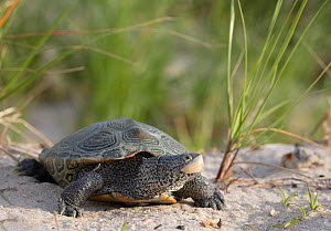 Diamondback terrapin (Malaclemys terrapin) female, Delaware Bay, New Jersey, USA, June.  -  Doug Wechsler