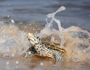 Diamondback terrapin (Malaclemys terrapin) female coming to beach to nest, Delaware Bay, New Jersey, USA, July.  -  Doug Wechsler