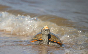 Diamondback terrapin (Malaclemys terrapin)female coming to beach to nest, Delaware Bay, New Jersey, USA, July.  -  Doug Wechsler