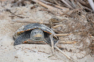 Diamondback terrapin (Malaclemys terrapin) female laying eggs, Delaware Bay, New Jersey, USA, July.  -  Doug Wechsler