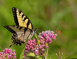 Eastern tiger swallowtail (Papilio glaucus) and Peck's skipper butterfly (Polites peckius) on swamp milkweed (Asclepias incarnata) French Creek State Park, Pennsylvania, USA. July.  -  Doug Wechsler