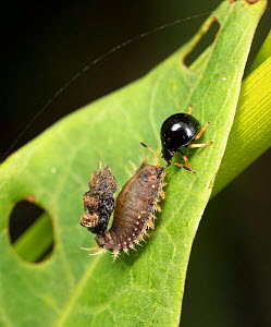 Anchor stink bug (Stiretrus anchorago) nymph, predator on leaf beetle larva, with adult Chrysomelid beetle. Pennsylvania, USA, August.  -  Doug Wechsler