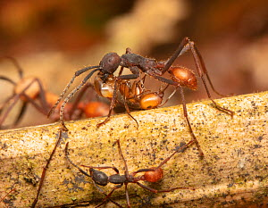 Army ant (Eciton burchellii) soldier with large mandibles, Copalinga Reserve, Ecuador.  -  Doug Wechsler