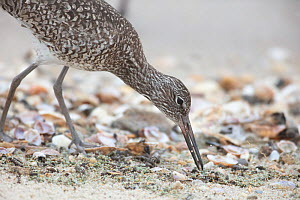 Willet (Catoptrophorus semipalmatus) feeding on horseshoe crab eggs, Delaware Bay, New Jersey, USA. May.  -  Doug Wechsler