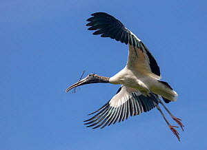 Wood stork (Mycteria americana) in flight, St. Augustine Alligator Farm Zoological Park, Florida, USA.  -  Doug Wechsler