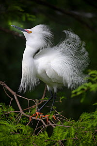 Snowy egret (Egretta thula) courtship display, St. Augustine Alligator Farm Zoological Park, Florida, USA, May.  -  Doug Wechsler