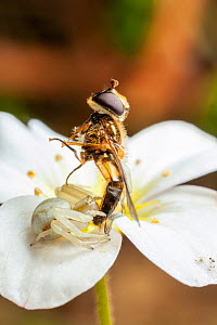 Flower crab spider (Misumena vatia) female with hoverfly prey on Saxifraga flower, Bristol, UK. April  -  Michael Hutchinson