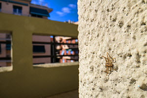 Crab spider (Xysticus sp.) on balcony, Genova, Italy, May.  -  Emanuele Biggi