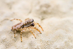 Jumping spider (Salticus sp.), on balcony, Genova, Italy, May.  -  Emanuele Biggi