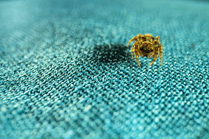 Jumping spider (Salticidae) on fabric in apartment, Genova, Italy, March.  -  Emanuele Biggi