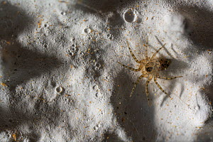 Wall spider (Oecobius sp.) on a house wall, Genova, Italy. March.  -  Emanuele Biggi