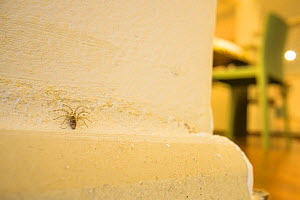 Wall spider (Oecobius sp.) resting on a wall in the corner of an apartment. Genova, Italy. April.  -  Emanuele Biggi