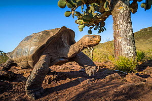 Pinzon giant tortoise (Chelonoidis duncanensis), saddleback type typical of arid island, their long necks and raised shell allowing them to browse on cacti. Captive-raised as hatchlings to protect the...  -  Tui De Roy