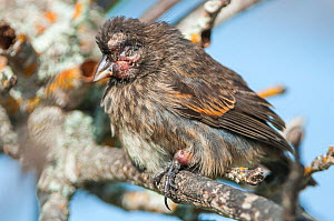 Small ground finch (Geospiza fuliginosa) with advanced case of introduced avian pox disease, usually fatal. Academy Bay, Santa Cruz Island, Galapagos.  -  Tui De Roy