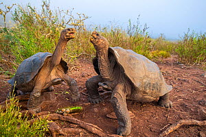 Pinzon giant tortoise (Chelonoidis duncanensis), two males facing off. Captive-raised as hatchlings to protect them from introduced black rats, adults have started breeding naturally again since rats...  -  Tui De Roy