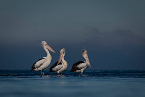 Australian pelicans (Pelecanus conspicillatus) three standing in water in Port Philip Bay, Victoria, Australia. May.  -  Doug Gimesy