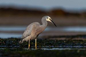 White-faced heron (Egretta novaehollandiae) standing in the water in the intertidal zone (shoreline) of Port Philip Bay, looking for food. Ricketts Point, Beaumaris, Victoria, Australia. May.  -  Doug Gimesy