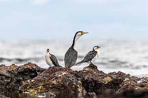 Little pied cormorants (Microcarbo melanoleucos) two standing either side of a Pied cormorant (Phalacrocorax varius) on coastal rocks, Ricketts Point, Beaumaris, Victoria, Australia. May.  -  Doug Gimesy
