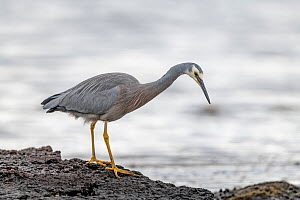 White-faced heron (Egretta novaehollandiae) looking for food on the sea shore. Ricketts Point, Beaumaris, Victoria, Australia. May.  -  Doug Gimesy