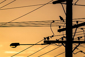 Sunset silhouetted Australian raven (Corvus coronoides) on powerlines. Brighton, Victoria, Australia. April.  -  Doug Gimesy