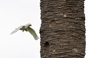 Little corella (Cacatua sanguinea) flying past a date palm. Elwood, Victoria, Australia. May.  -  Doug Gimesy