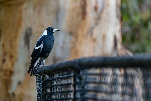 Australian magpie (Cracticus tibicen) sitting on a fence in front of a River red gum. (Eucalyptus camaldulensis). Elsternwick, Victoria, Australia. May.  -  Doug Gimesy