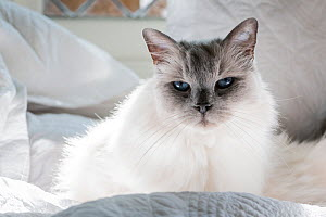 Portrait of domestic ragdoll cat , male 'Shiloh' age 13 on a bed. Brighton, Victoria, Australia. March.  -  Doug Gimesy
