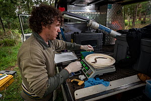 Scientist weighing Short-finned eel (Anguilla australis) before it is tagged and released, as part of ongoing research for Melbourne water, Tarago River, Neerim South, Victoria, Australia. March 2020....  -  Doug Gimesy