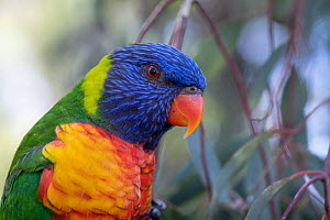 Head close up of a Rainbow lorikeet (Trichoglossus moluccanus) sitting on a eucalyptus tree, ?Gardenvale, Victoria, Australia.  -  Doug Gimesy