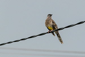 Wattlebird (Anthochaera carunculata) perched on a powerline. Brighton, Victoria, Australia. April.  -  Doug Gimesy