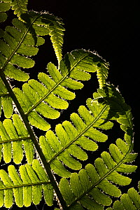 Male fern (Dryopteris felix mas) backlit, close-up, Broxwater, Cornwall, UK. May.  -  Ross Hoddinott