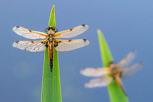 Four-spotted chaser (Libellula quadrimaculata) dragonflies resting on backlit reeds close to the water's edge, Broxwater, Cornwall, UK. May.  -  Ross Hoddinott