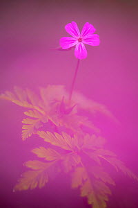 Herb robert (Geranium robertianum) flower, Broxwater, Cornwall, UK. April.  -  Ross Hoddinott