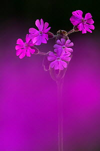 Red Campion (Silene dioica), backlit in early morning sunlight, spring, Broxwater, Cornwall, UK. April.  -  Ross Hoddinott