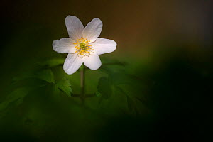 Wood anemone flower (Anemone nemorosa), late evening light, Broxwater, Cornwall, UK. April.  -  Ross Hoddinott