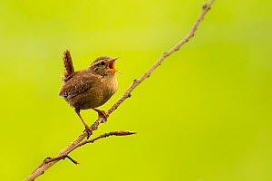 Wren (Troglodytes troglodytes) singing, early morning in spring, Broxwater, Cornwall, UK. April.  -  Ross Hoddinott