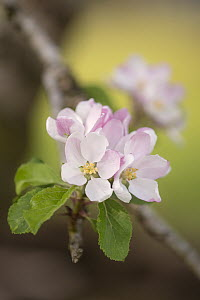 Apple tree (Malus domestica) blossom in orchard in spring, Broxwater, Cornwall, UK. April.  -  Ross Hoddinott
