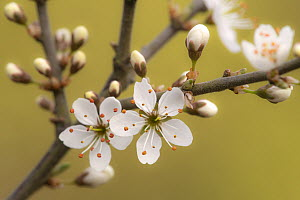 Blackthorn blossom (Prunus spinosa), Cornwall, UK. April.  -  Ross Hoddinott