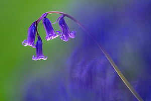 Bluebell (Hyacinthoides non-scripta) flower, Broxwater, Cornwall, UK. April.  -  Ross Hoddinott