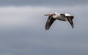 Australian pelican (Pelecanus conspicillatus) in flight over Port Philip Bay, Sandringham, Victoria, Australia. May.  -  Doug Gimesy