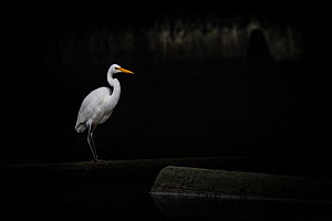Eastern great egret (Ardea modesta) standing under a bridge in a canal looking for fish that may have come upstream during the tide. Elwood canal, Elwood, Victoria, Australia. May.  -  Doug Gimesy